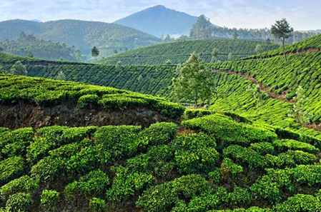 Tea Industry Overview
